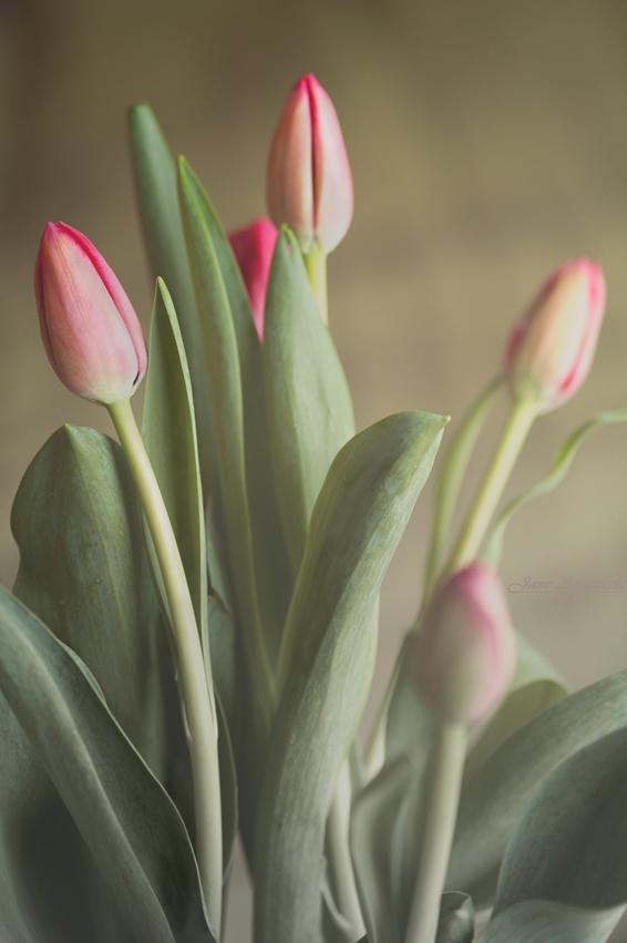 _JAS7859-WEB-Tulips---Valentine's