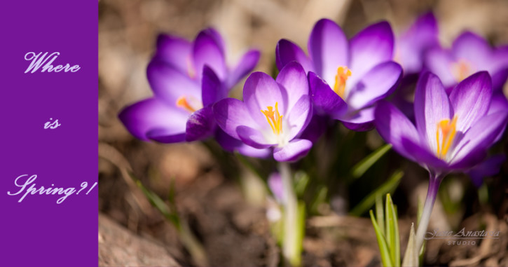 JAS-5251-WEB-Layer--Crocuses---Last-yrs-Crocuses