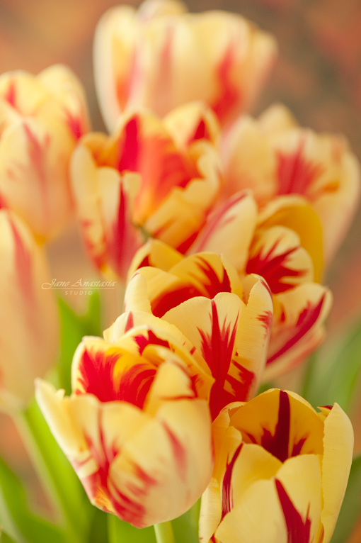 _JAS8563-WEB-Tulips-Colored