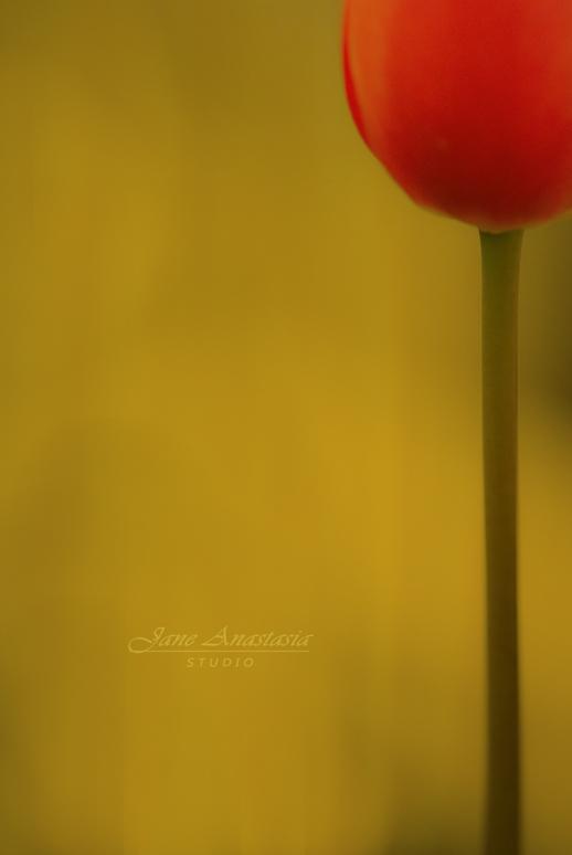 DSC_8941-Web-Straight-Tulip