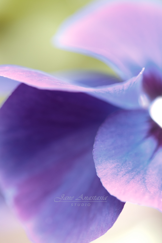 DSC_9163-2WEB-Pansy-Abstract