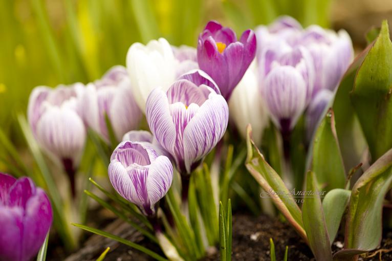 _JAS1441-WEB-Striped-crocuses-one-purple-standing
