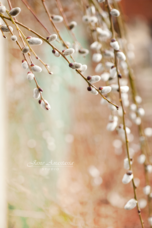 _JAS1455-WEB-Pussy-Willow-pods-on-trailing-vine