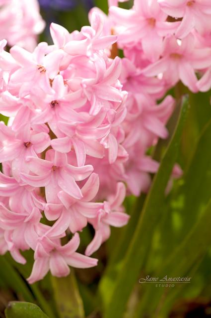 _JAS2320--WEB-Pink-Hyacinth
