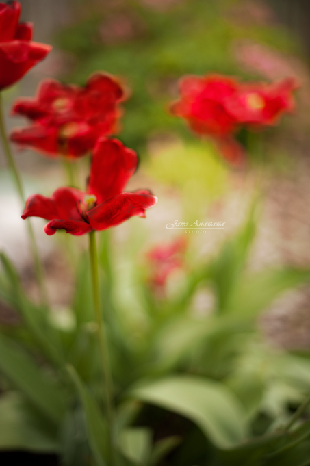 _JAS2929--WEB-Fading-red-tulips