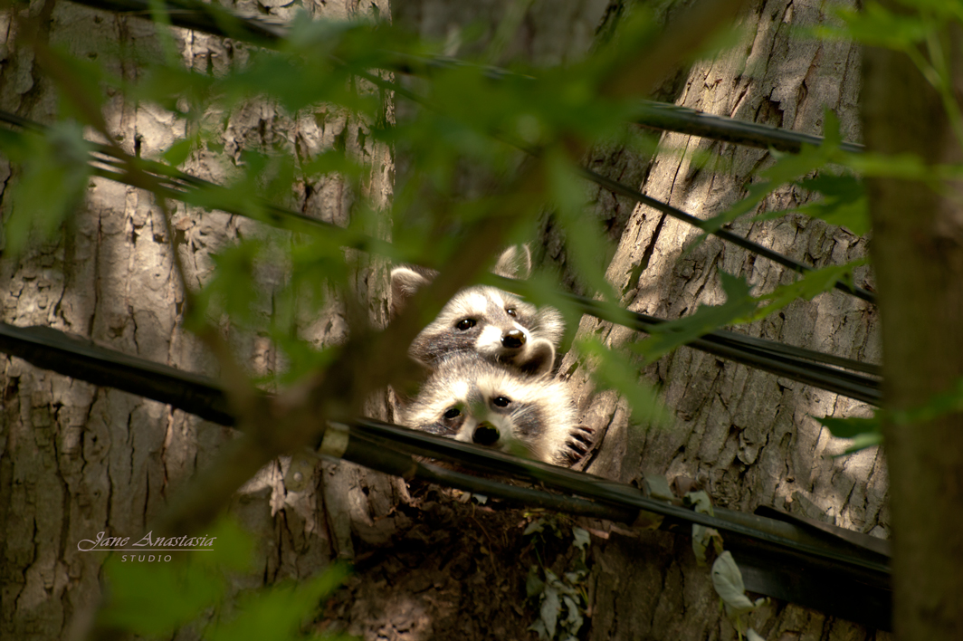 _JAS4004-WEB-Two-Baby-Raccoons