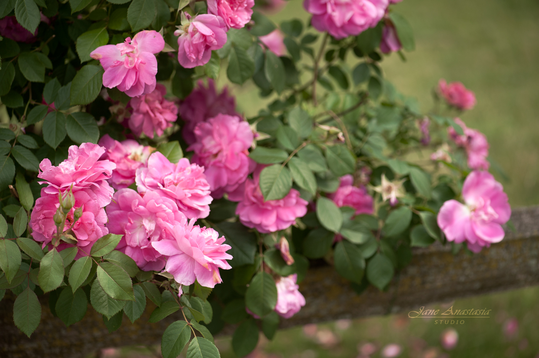 _JAS4561-WEB-Pink-Roses-on-Fence