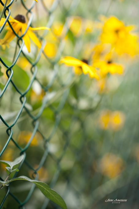 _JAS8914-WEB-Black-eyed-suzies-fence-3