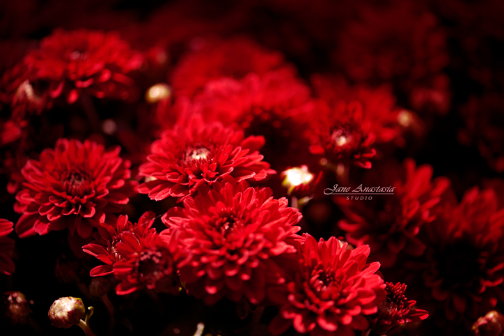 _JAS9528-WEB-Chrysanthemums