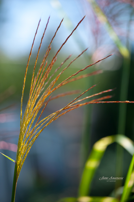 _JAS9604-WEB-Autumn-Grass