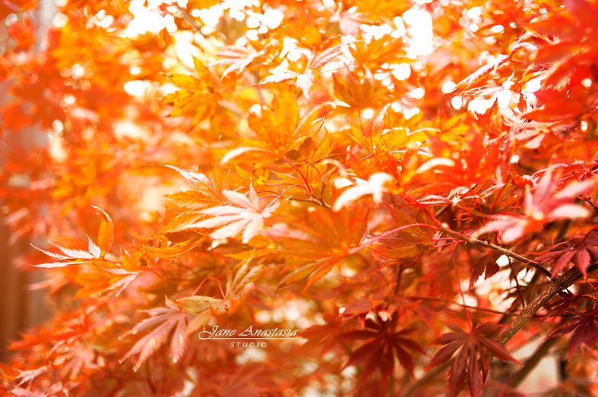 _JAS9963-3WEB-Japanese-Maple