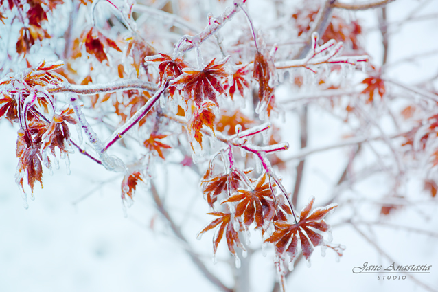 _JAS0448-WEB-Japanese-Maple-in-Ice