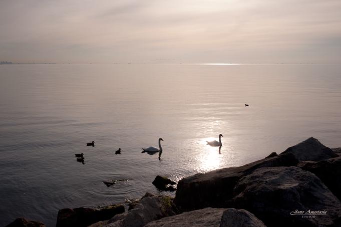 _JAS6253-WEB-Swans