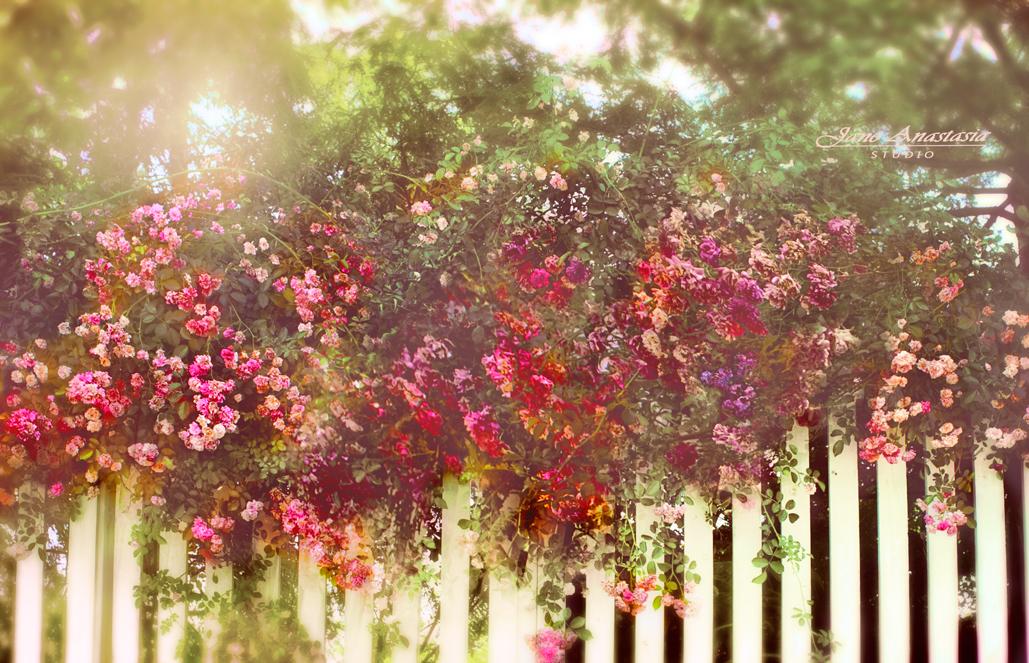 _JAS6488-WEB-CroppedFence-Roses-4