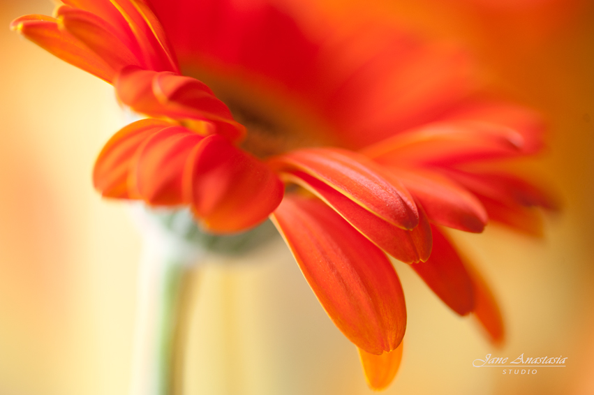 _JAS1898-WEB-Orange-Gerbera