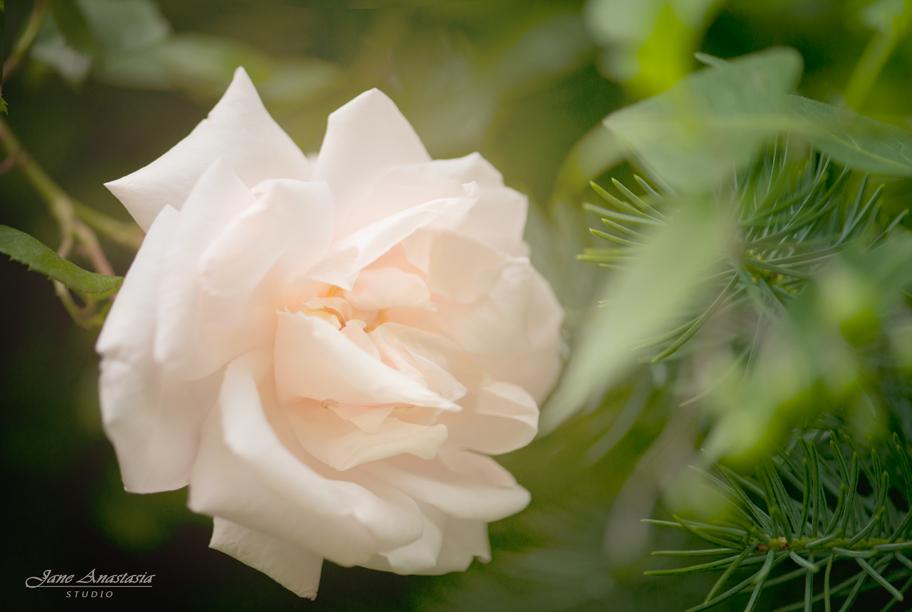 _JAS4617-WEB-Soft-pale-peach-rose