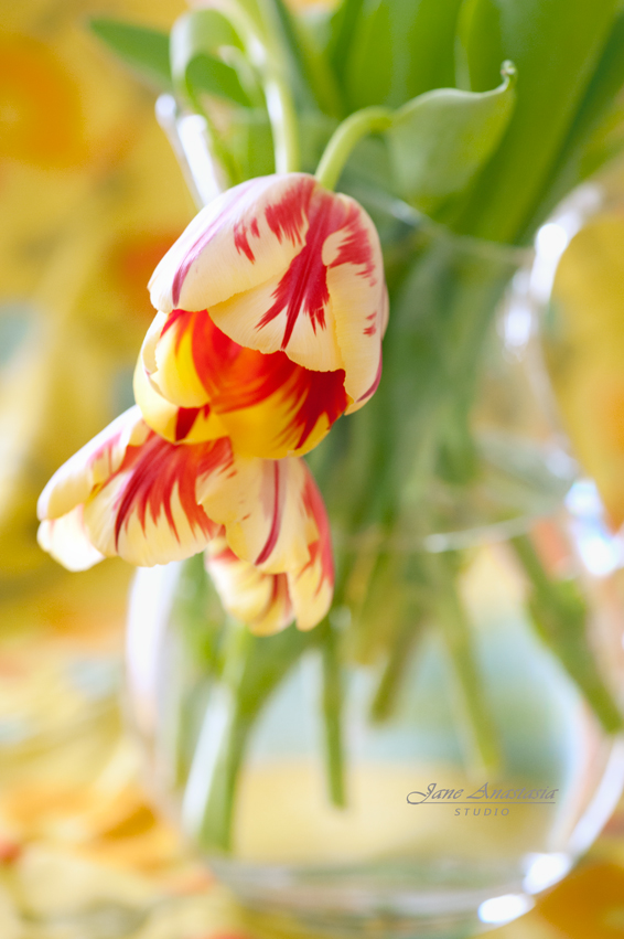 _JAS8731--2WEB-Two-Tulips-2