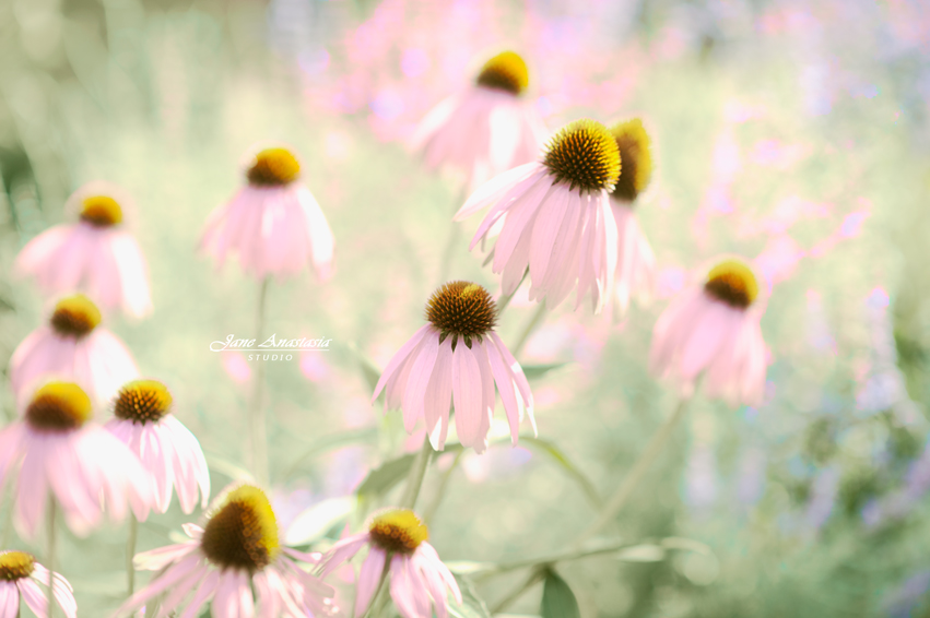 JAS_3112-WEB-Purple-cone-flowers-2