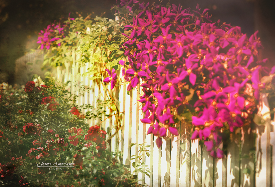 JAS_3189-WEB-Clematis-Fence-2-b