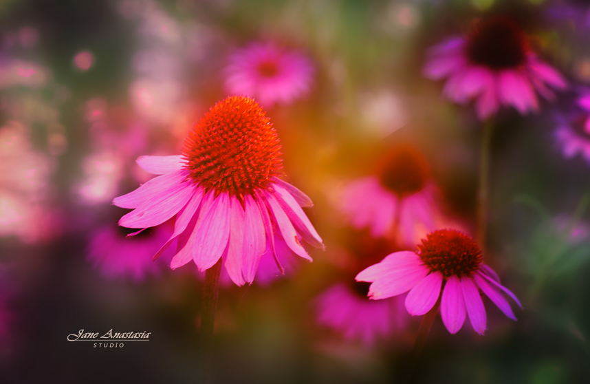 _JAS7554-WEB--Purple-cone-flowers-3