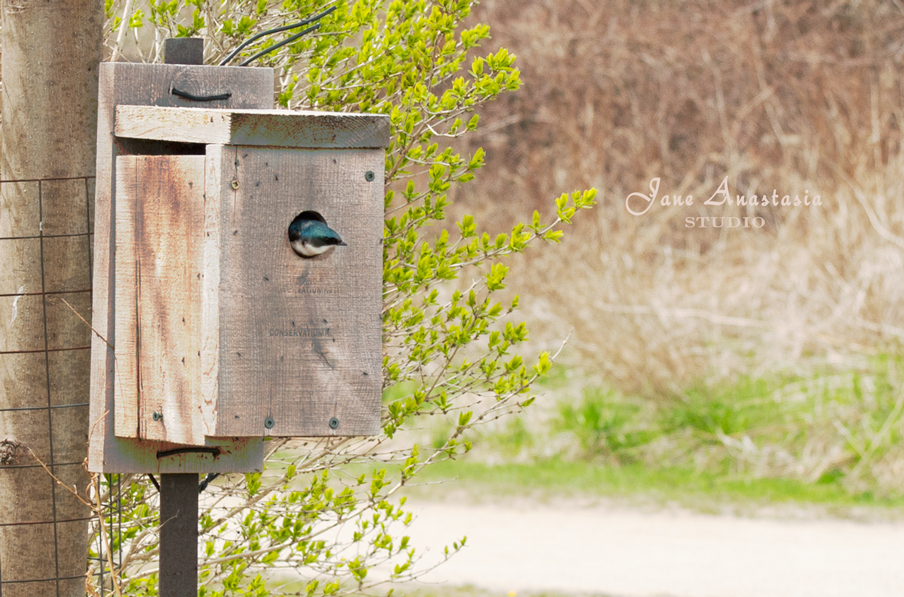 _JAS4017-WEB-Blue-bird-in-birdhouse