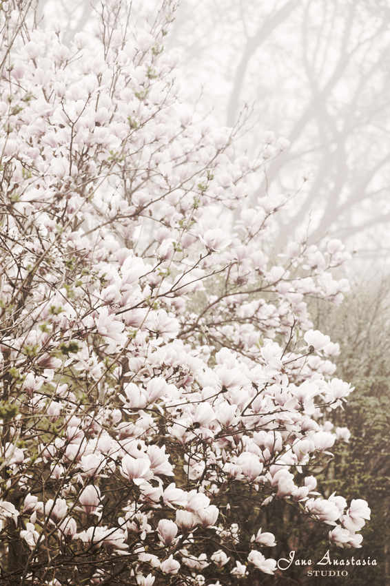 _JAS4117-WEB-Magnolia-this-morning-in-fog