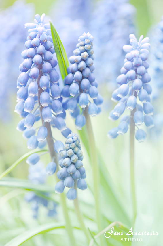 _JAS4214-WEB-Grape-Hyacinth
