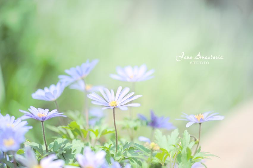 _JAS4255-WEB-Anemones-2