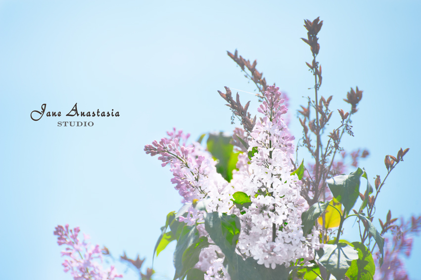 _JAS4422-WEB-First-lilacs-2