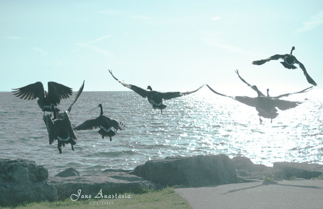 _JAS4658-WEB-Geese-taking-off-in-sun