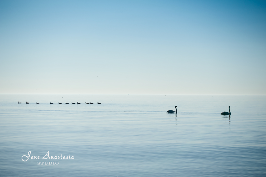 _JAS5199-WEB-Swans-and-geese-on-Lake