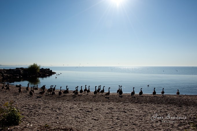 _JAS5251-WEB-Geese-on-beach