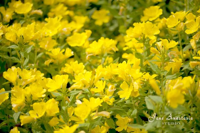 _JAS5921-WEB-Yellow-flowers