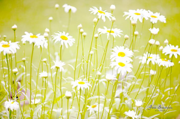 _JAS6259-WEB-Daisies-2