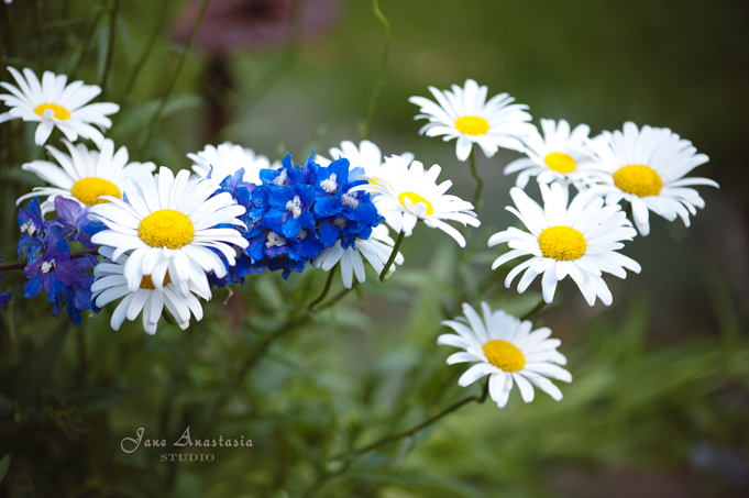 _JAS6762-WEB-Daisies-and-delphinium