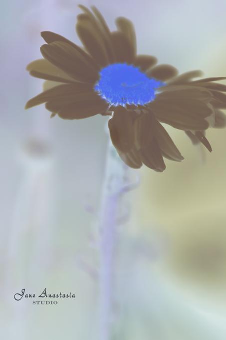 _JAS6769-WEB-Daisy-2