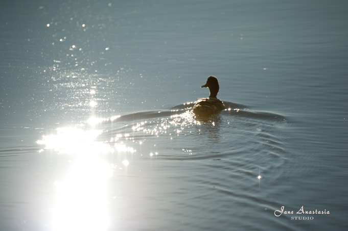 _JAS8715-WEB-Duck-with-sun-reflection