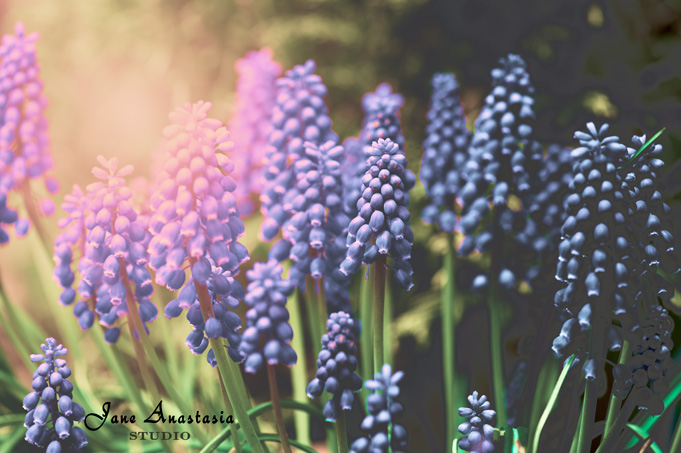 _JAS4235-WEB-Grape-Hyacinths