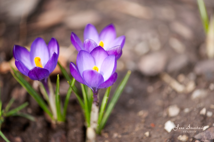 _JAS2678-WEB-First-Crocuses