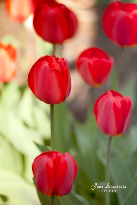 _JAS2892-WEB-Red-Tulips