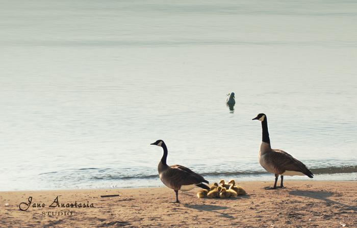 _JAS3147-WEB---Goose-Family---JAS