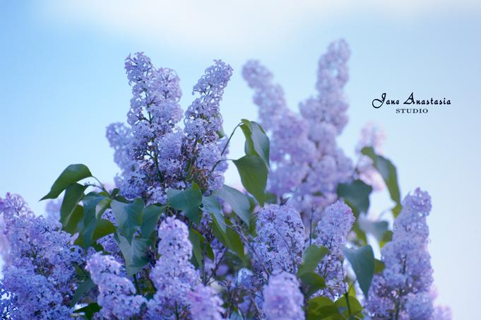 _JAS3552-WEB-Lilacs---JAS