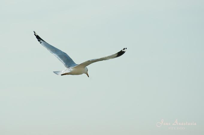 _JAS3684-WEB-Seagull