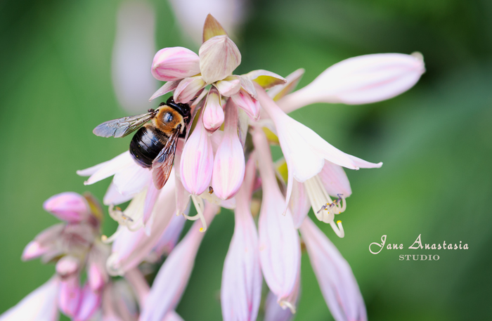 _JAS6349-WEB-Bee-on-Hosta