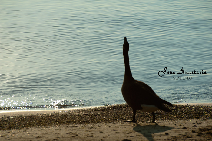 _JAS8254-WEB-Goose
