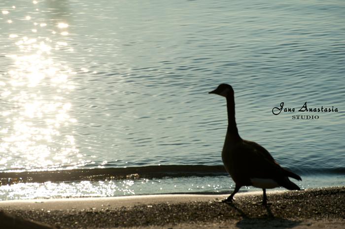 _JAS8255-WEB-Goose