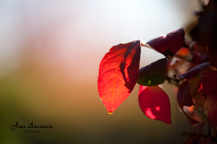 _JAS9302-WEB-Red-Leaf