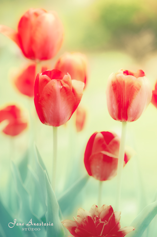 _JAS4092-WEB-Red-Tulips-2