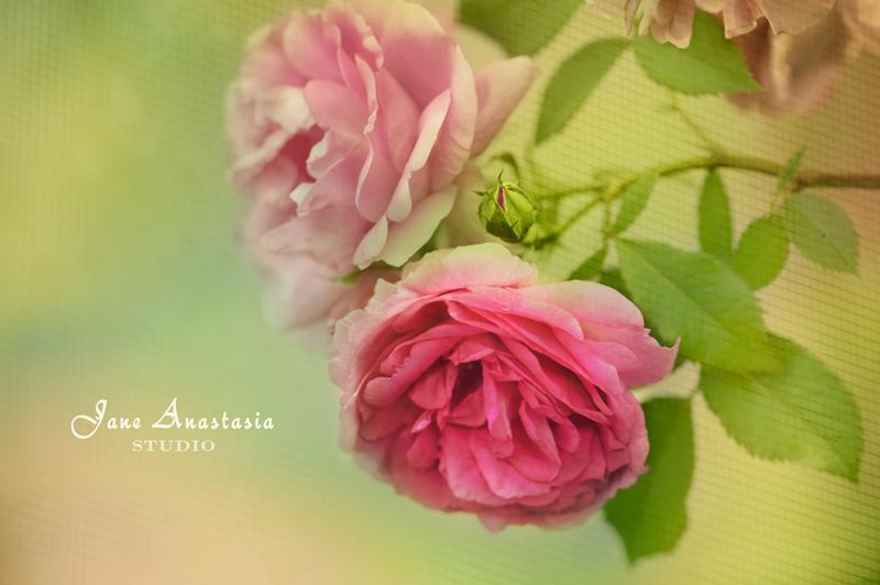 _JAS4553-WEB-Hanging-roses