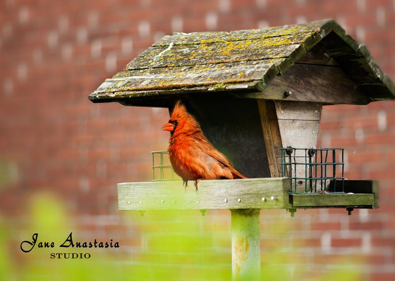 _JAS4615-WEB-Cardinal-on-birdhouse-composite